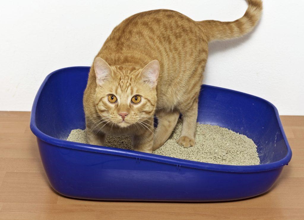 Ar brangus kačių maistas yra geriau